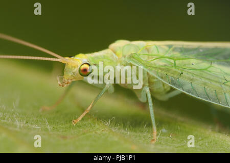 Close up of Green Lacewing at rest on leaf. Tipperary, Ireland - Stock Image