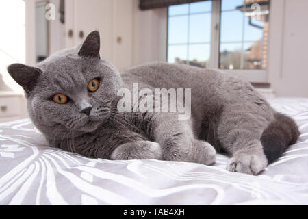British Blue Shorthair Cat, Portrait single male adult, Lying down on bed at home, Looking startled and nervous, England, UK - Stock Image