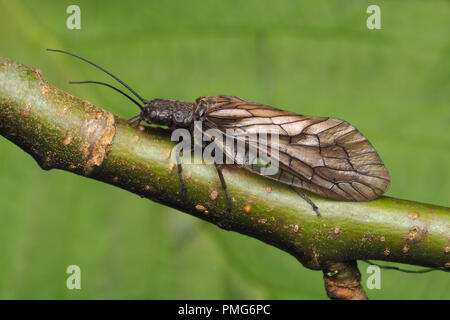 Alderfly (Sialis sp.) perched on tree branch. Tipperary, Ireland - Stock Image