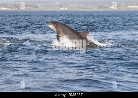 Adult Bottlenose dolphin (Tursiops truncatus) leaping/breaching in the Moray Firth, Chanonry Point, Black Isle, Scotland, UK, Europe - Stock Image