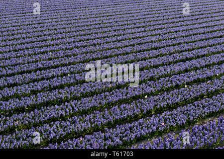 Rows of traditional Dutch Hyacinths with purple flowers - Stock Image