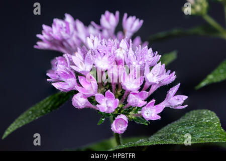 Pentas, Native to tropical eastern Africa, Pentas flourishes in heat and low humidity, a multi-stemmed, spreading - Stock Image