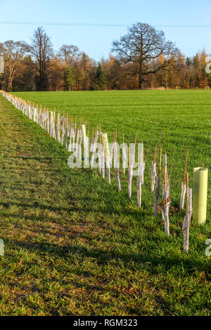 A newly planted hedge with rabbit guards and supporting posts in the middle of a field - Stock Image