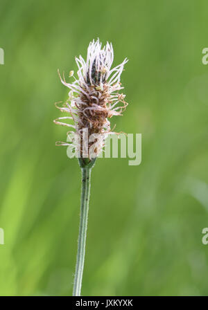 Flower heard of ribwort plantain (Plantago lanceolata) where most of the male parts, anther and filament, are finished and the female stigma and style - Stock Image