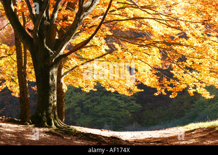 Golden leaves of Autumn,Fall season  in the woods of the Sibillini National Park in Le Marche, Italy - Stock Image