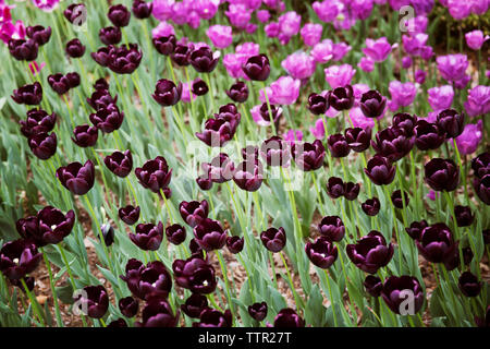 High angle view of purple tulips blooming on field - Stock Image