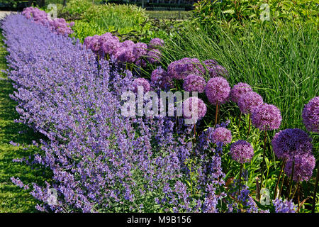 Border with Salvia and Allium - June - Stock Image
