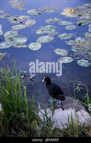 Coot (Fulica atra) standing at the shore of the lake on a stone - Stock Image