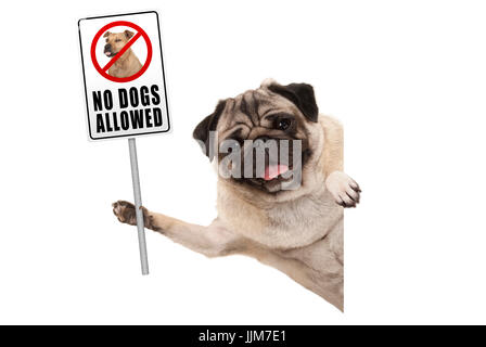 smiling pug puppy dog holding up prohibitory no dogs allowed sign, isolated on white background - Stock Image