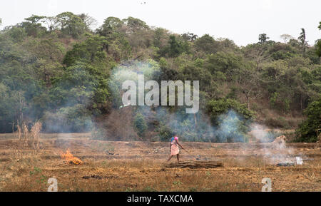 An Indian female farmer burning the stubble in a field after harvest in Goa, India. - Stock Image
