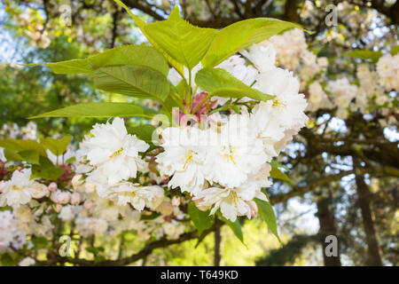 White Cherry blossom Queenswood Arboretum Dinmore Herefordshire England UK. April 2019 - Stock Image
