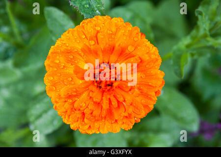Orange Marigold - Stock Image
