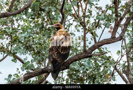 wedge tailed eagle, Queensland, Australia - Stock Image