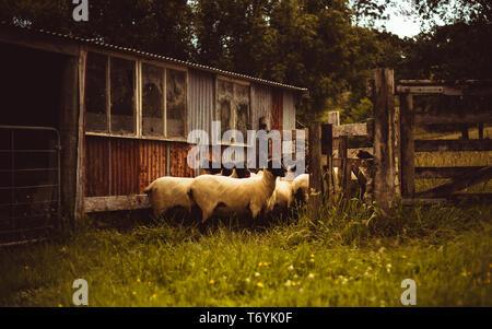 Sheep Pen huddle - Stock Image