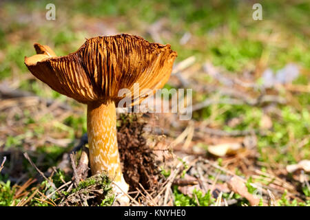 The single mushroom in its natural wild environment is seen on forest litter - Stock Image