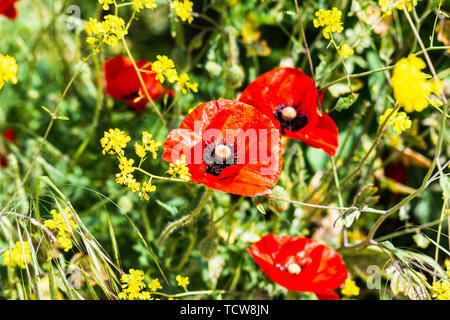 The bright scarlet red flower of the common poppy Papaver rhoeas surrounded by the yellow of feral rapeseed - Stock Image