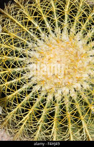 Cactus in desert, Arizona - Stock Image