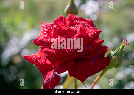 Red Roses on a bush in a garden. - Stock Image