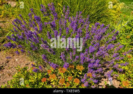 Italy Piedmont Turin Valentino botanical garden - Laavandula - lavender - Stock Image