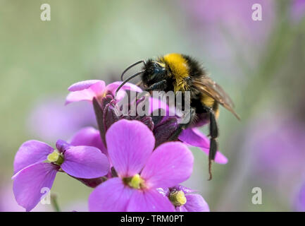 Bee collecting pollen - Stock Image