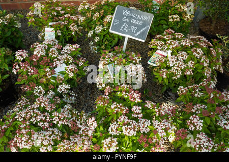 Virburnum Eve Price an evergreen hedging plant for sale in a garden centre in autumn - Stock Image