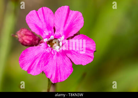 Colour macro photograph of single isolated red campion flower on blurred green background. Poole, Dorset, England. - Stock Image