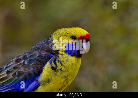 Green Rosella Parrot with copy space in bokeh background. Location is Tasmania, Australia. - Stock Image