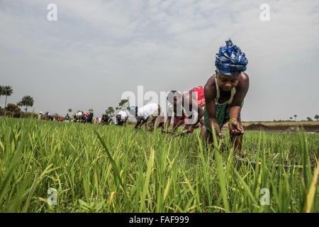 Women tend to their rice crop near Bo, Sierra Leone. - Stock Image