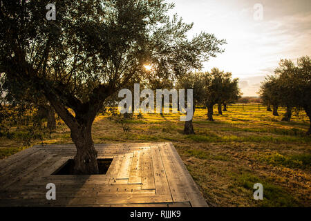 Olive grove at the Torre de Palma Wine Hotel - Stock Image