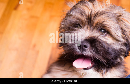 The Lhasa Apso is a non-sporting dog breed originating in Tibet. It was bred as an interior sentinel in the Buddhist - Stock Image