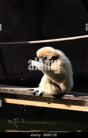 a gibbon monkey drinking water with its hand vertical - Stock Image