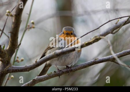 A Robin red breast on a cool spring evening. - Stock Image