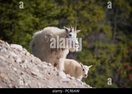Mountain goats, Oreamnos americanus, nanny and kid, Jasper National Park, Alberta, Canada - Stock Image