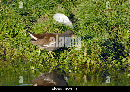 Juvenile Moorhen on a canal bank - Stock Image