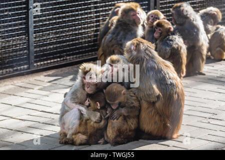 Groupl of Macaca mulatta - Old World monkeys in Beijing, capital city of China - Stock Image