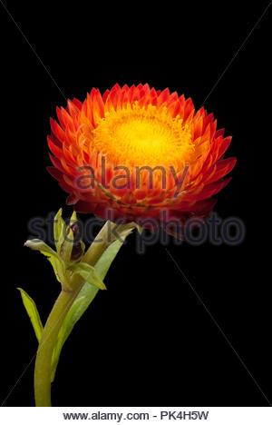 Orange Strawflower - Stock Image