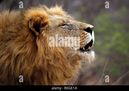 Male Lion Calling for His Pride, in Profile. Balule Nature Reserve, Kruger Park, South Africa - Stock Image
