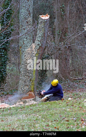 An old cherry tree being cut down by a man using a chain saw on a winter's day - Stock Image