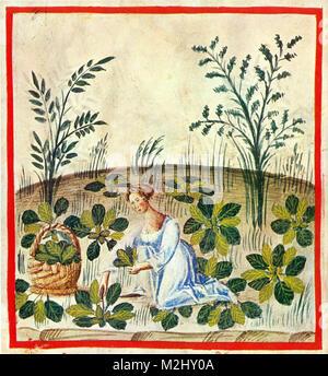 'Tacuinum Sanitatis', Beets - Stock Image