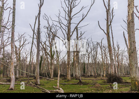 Dead oak tree forest in the New Forest National Park, Hampshire, England, UK - Stock Image
