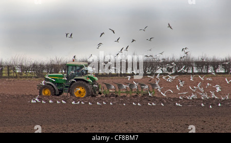 Farmer in tractor ploughing field in spring, being followed by birds in Lymm, Cheshire, England UK - Stock Image