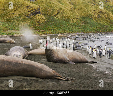 Large adult male elephant seal with open mouth blowing steam into the air. Colony of king penguins in the background on black sand beach.South Georgia. - Stock Image