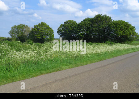 Cow parsley growing by the roadside near the north Oxfordshire village of Hook Norton - Stock Image