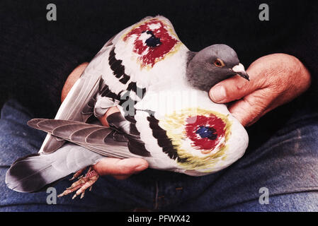 Pigeon racer Tom Perry, aged 69, of Rhymney, Gwent, has come up with a unique way of stopping attacks on his birds by peregrine falcons, he's painted RAF symbols on their wings. He thinks the falcons mistake the red, blue & yellow circles for eyes, in the same way moths & butterflies deter predators by having similar markings naturally on their wings. Tom and other members of Rhymney Pigeon Flying Club have regularly lost birds to the peregrines that nest in an old quarry about a mile away from his loft. Since he's marked his flock, which he does with felt tipped pens, not one has been attacke - Stock Image