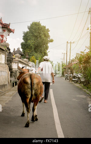 Balinese Man bringing his cow out - Stock Image