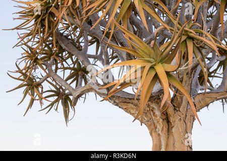 Africa, Namibia, Keetmanshoop. Quiver tree top. Credit as: Wendy Kaveney / Jaynes Gallery / DanitaDelimont.com - Stock Image