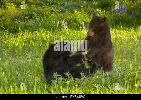 Black bear cubs, Ursus americanus, play in spring meadow, Montana, USA - Stock Image