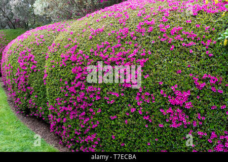 A beautifully pruned floral hedge, Sussex , England - Stock Image