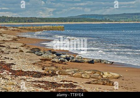 PORTGORDON BEACH MORAY SCOTLAND COMMON SEALS HAULED UP ON THE SAND BELOW THE VILLAGE HOUSES - Stock Image
