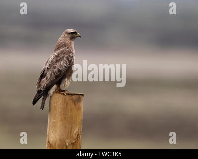 Common buzzard (Buteo buteo) perched on wooded post, North Uist, Outer Hebrides, Scotland - Stock Image